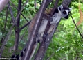 Ring-tailed lemurs in Isalo (Isalo)