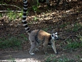 Ring-tailed lemur with baby hanging on stomach (Isalo)