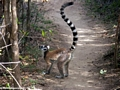 Ringtailed lemurs in Isalo National Park (Isalo)