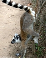 Ring-tailed lemur marking territory (Isalo)