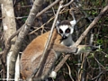 Ring-tailed lemur in Isalo National Park tree (Isalo)