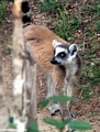 Ring-tail lemur in Isalo National Park (Isalo)