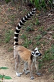 Ringtail lemur in Isalo National Park (Isalo)