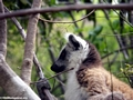 Ringtailed lemur in Isalo National Park (Isalo)