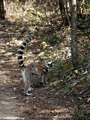 Mother ring-tail lemur with baby in Isalo National Park (Isalo)