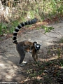 Mother ring-tailed lemur with baby in Isalo N.P. (Isalo)