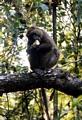 Greater Bamboo (Hapalemur simus) Lemur in Ranomafana (Ranomafana)