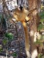 Red-fronted brown lemur in tree (Kirindy)