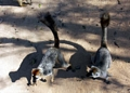 Pair of Red-fronted brown lemurs on ground (Kirindy)