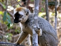 Eulemur  fulvus rufus in tree (Kirindy)