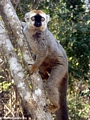 Eulemur  fulvus rufus (red-fronted brown lemur) (Kirindy)