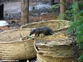 Mungotictis decemlineata mongoose raiding trash heap (Kirindy)