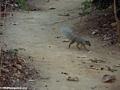 Mungotictis decemlineata mongoose (Kirindy)
