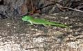 Phelsuma madagascariensis kochi day gecko (Kirindy)