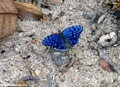 blue butterfly at kirindy (Kirindy)