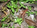 Common frog in Kirindy (Kirindy)