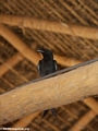crested drongo (Kirindy)