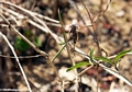 Green walking stick insect