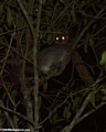 Lepilemur rufioaudatus lemur (Kirindy)