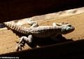 Oplurus cuvieri iguanid lizard (Kirindy)