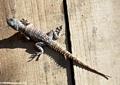 Oplurus cuvieri iguanid lizard (Kirindy) [oplurus_cuvieri_2]