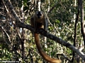 Red-fronted brown lemur (Eulemur fulvus rufus) in tree (Kirindy)