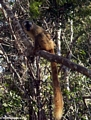 Female red-fronted brown lemur (Kirindy)