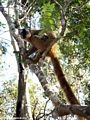 Mother red-fronted brown lemur (Kirindy)
