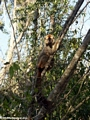 Eulemur fulvus rufus in tree at Kirindy (Kirindy)