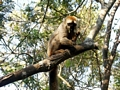 Eulemur fulvus rufus lemur in tree at Kirindy (Kirindy)