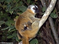 Red-fronted brown lemur (Eulemur fulvus rufus) with baby (Kirindy)