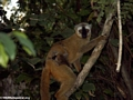 Mother red-fronted brown lemur (Eulemur fulvus rufus) with baby (Kirindy)