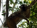Red fronted brown lemur in tree (Kirindy)