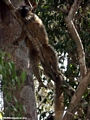 Red-front brown lemur in tree (Kirindy)