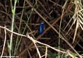 Malagasy Kingfisher  (Manambolo) [Malagasy_Kingfisher_5]