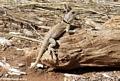 Oplurus cuvieri (Collared iguanid) (Manambolo)