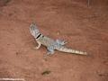Oplurus cuvieri iguanid (Manambolo)