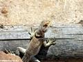 Oplurus cuvieri collared iguanid lizard (Manambolo)