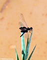 black dragonfly (Manambolo)