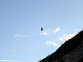 Black kite in flight (Manambolo)