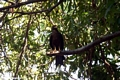 Black kite (Milvus migrans) perched in tree (Manambolo)