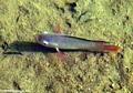 Malagasy cichlid (Manambolo)