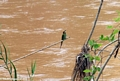 Madagascar bee-eater (Manambolo)