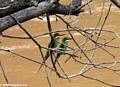 Madagascar bee-eaters (Merops superciliosus) (Manambolo)