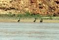 madagascar ducks river (Manambolo)