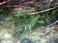 Madagascar lace plant (Manambolo)