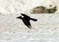 pied crow in flight (Manambolo)