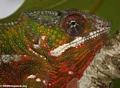 Furcifer pardalis chameleon in Maroantsetra (head shot) (Maroantsetra)