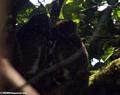Avahi laniger lemurs (Masoala NP)
