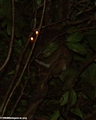 Pair of Woolley lemurs (Avahi laniger) (Masoala NP)